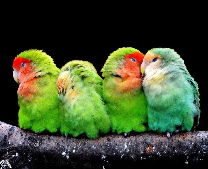parrots-277093_960_720