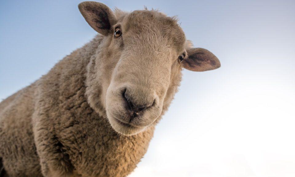 sheep-1822137_960_720
