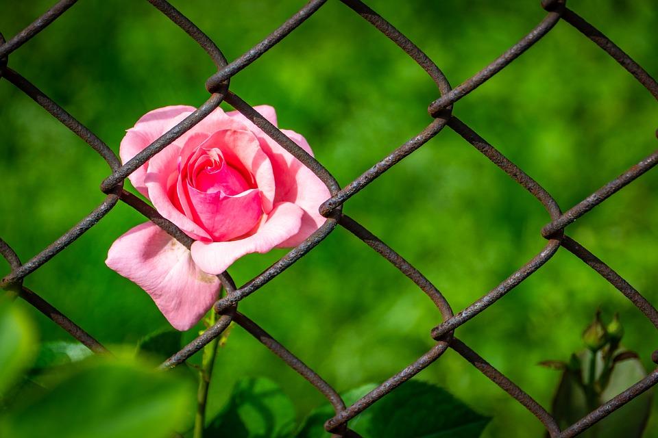 rose-3458142_960_720